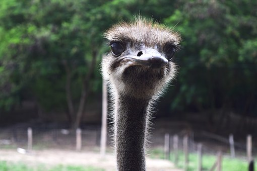 Ostrich, Peak, Ave, Eye, Ostrich Looking, Animal