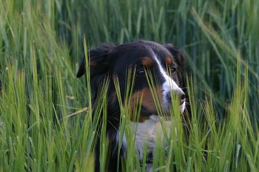 Bernese Dog Salsa, Dog, Meadow, Hundeportrait