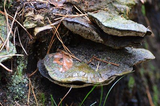 Birch Fungus, Forest, Autumn