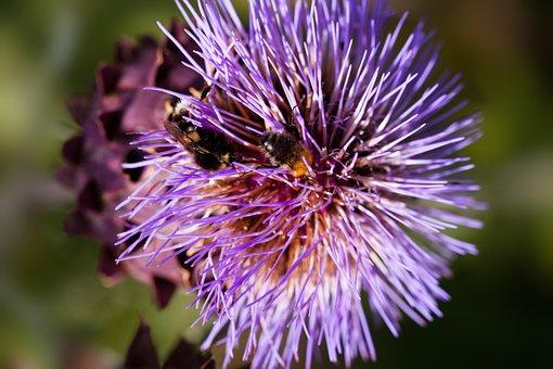 Artichoke, Blossom, Bloom, Cynara Cardunculus