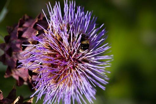Artichoke, Blossom, Bloom, Flower, Purple