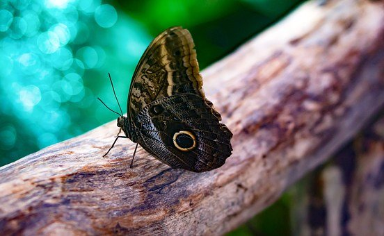 Giant Owl Butterfly, Butterfly, Insect, Wildlife