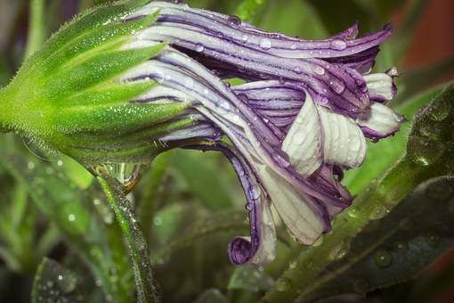 Macro, Osteospermum Ecklonis, Cape Basket