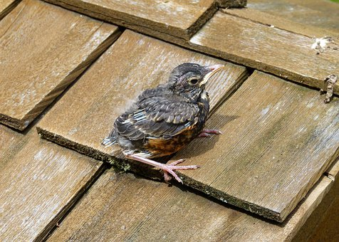 Red Robin, Chick, Young, Bird, Feathered, Wooden, Roof