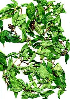 Nine Coating Tower, Coriander, Culinary Herbs, Plant