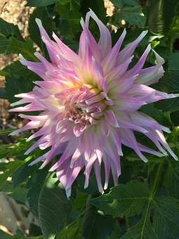 Dahlia, Mingus Gregory, Semi-cactus, Violet And White