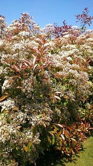 Gloss Medlar, Bush, Red Robin, Red, Garden