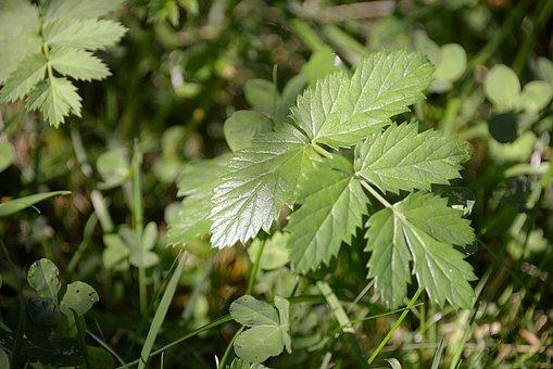 Blackberry Leaves, Green, Plant, Nature, Leaf