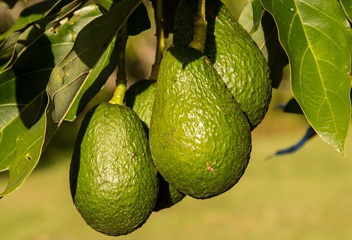 Hass Avocado, Avocados, Fruit, Food, Tree, Green