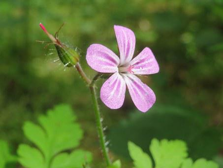 Geranium Robertianum, Herb-robert, Red Robin