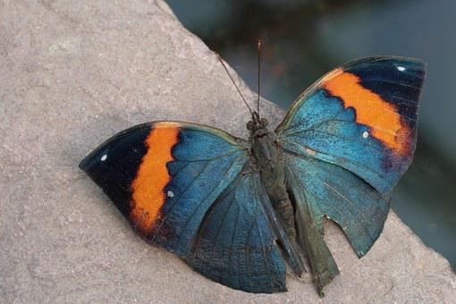 Butterfly, Tropics Butterfly, Insect, Indian Journal