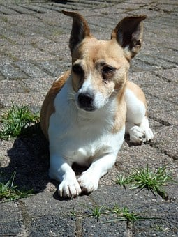 Dog, Doggy, Garden, Animals, Pet, Jack Russell, Dogs
