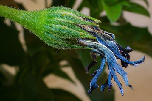Faded, Macro, Osteospermum Ecklonis, Cape Basket