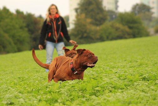 Dog, Mastiffs, Bordeaux, Outdoors, Summer, Funny, Adult