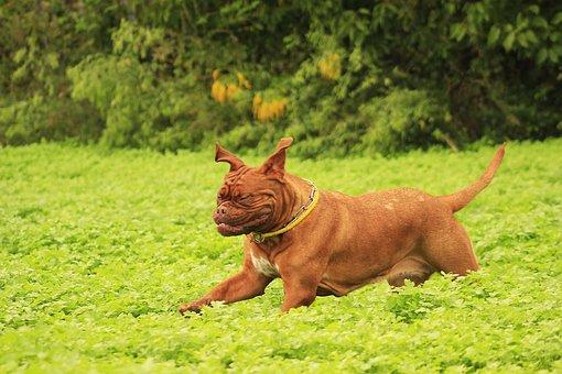 Dog, Mastiffs, Bordeaux, De, Dogue, Outdoors, Summer