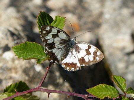 Butterfly, Melanargia Lachesis, Medioluto Iberian