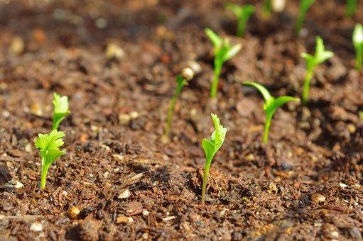 Plants, Coriander, Food, Cilantro, Spice, Organic