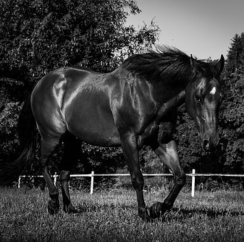 Quarterhorse, Horse, Black And White, Pasture