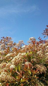Gloss Medlar, Bush, Red Robin, Garden, Red