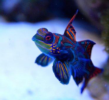 Mandarin, Reef, Fish, Saltwater Aquarium, Cay, Animal