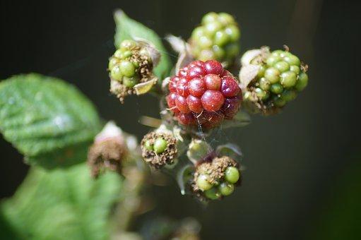 Blackberry, Nature, Garden, Fruit, Summer, Natural