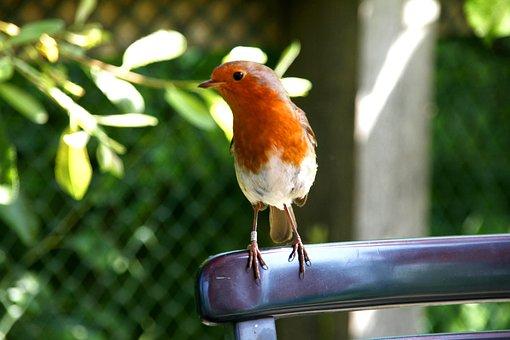 Robin, Bird, England, Uk, Wildlife, Animal, Nature