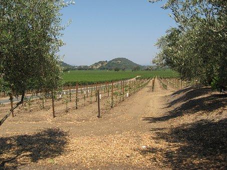 Winegrowing, Napa, Vine Yard, Grapevine