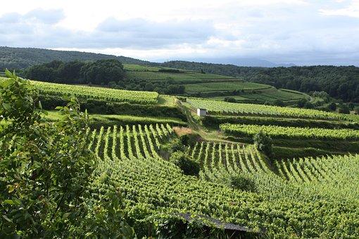 Vineyard, Vines, Winegrowing, Germany, Kaiserstuhl