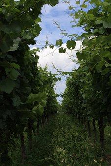 Vineyard, Wine, Vines, Pieces Of Vine, Grapes, Fruit