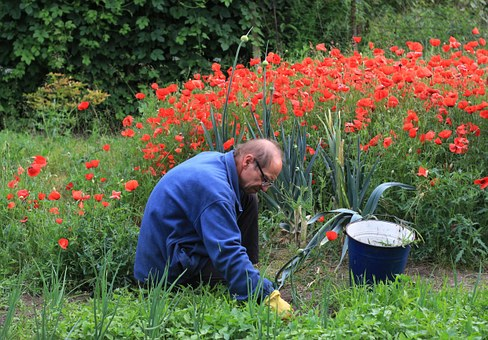 Garden, Work, Weeding, Beds, Poppies