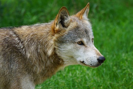 Wolf, Canis Lupus, Deer Park