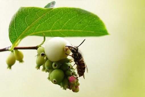 Animal, Insect, Wasp, Common Wasp, Vespula Vulgaris
