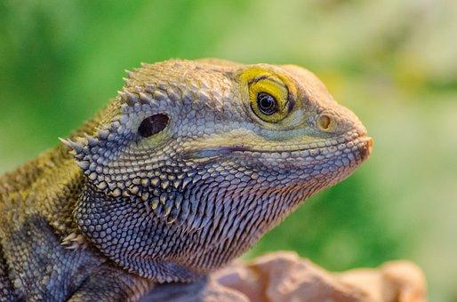 Animal, Bearded Dragon, Lizard, Nature, Pagona