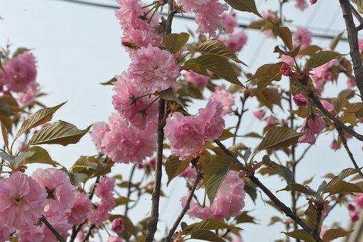 Spring, Begonia, Ching Ming
