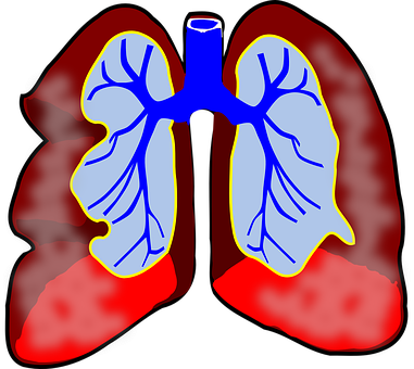 Lungs, Human, Diagram, Respiratory, Biology, Breath