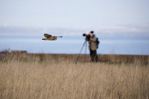 Short Eared Owl, Owl, Bird, Ornithology, Nature