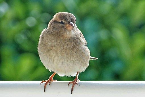 Sparrow, Sperling, House Sparrow, Bird, Female