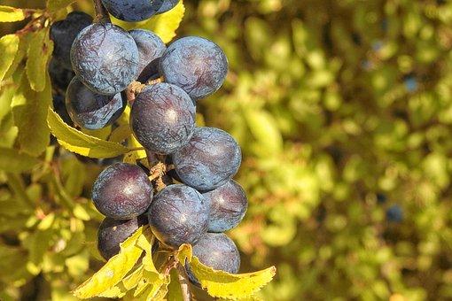Berries, Black, Black Berries, Belladonna