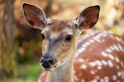 Animal, Brown, Deer, Fallow Deer, Fawn, Female, Head