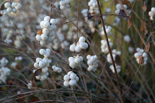Ordinary Schneebeere, Berries, Bush, Fruits