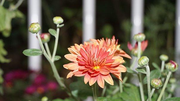 Chrysanthemum, Small Chrysanthemum, Bud