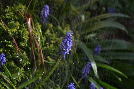 Shower, Rain, Flower, Purple, Grape, Hyacinth, Close-up