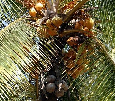 Coconuts, Malayan, Cocos Nucifera, Coconut Tree