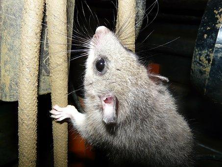Dormouse, Edible Dormouse, Rodent, Glis Glis