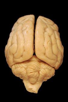 Brain, Anatomy, Dog, Biology, Dorsal, Body