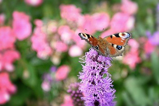 European Peacock, Butterfly Peacock, Butterfly, Summer