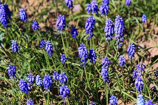 Bloom, Blossom, Blue, Flora, Flower, Garden, Grape