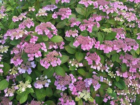 Floral, Lavender, Purple, Flower, Hydrangea, Garden