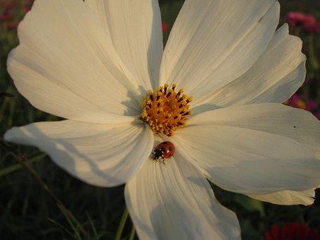 Chrysanthemum, White, Plant, Flower, Flowers