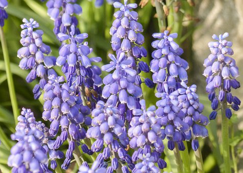 Flower, Bloom, Blossom, Blue, Colorful, Flowers, Fresh